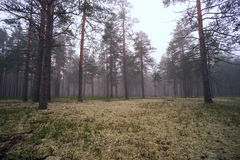 Fog in the pine forest. Royalty Free Stock Image