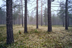 Fog in the pine forest. Stock Images