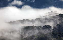 Fog in the pine forest Royalty Free Stock Photo