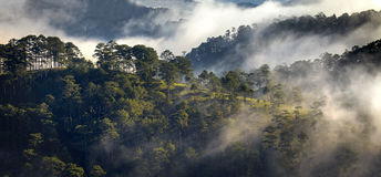 Fog in the pine forest Stock Images