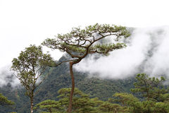 Fog in pine forest Stock Photography