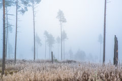 Fog in a pine forest Royalty Free Stock Photography