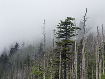 Fog, Pines, And Snags In Great Smoky Mountains NP Stock Images