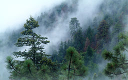 Fog Quickly Rises up Through the Forest of the Mogollon Rim. Royalty Free Stock Images