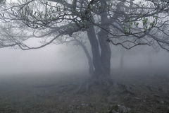 Fog's tree Royalty Free Stock Photography