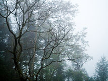 Fog in Sapa. Tree without leaf Stock Images