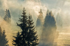 Fog in the spruce forest Stock Photography