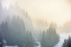 Fog in the spruce forest Stock Images