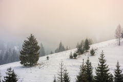 Fog in the spruce forest Stock Image