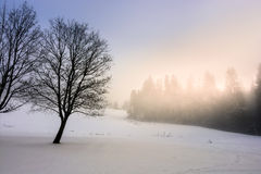 Fog in the spruce forest Stock Photo