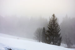 Fog in the spruce forest Royalty Free Stock Image