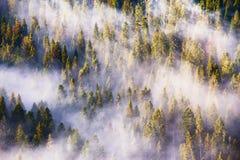 Fog and sun rays on the pine and fir forest Stock Photos