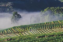 The fog at Strawberry Farm royalty free stock images