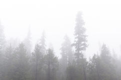 Fog surrounds evergreen trees Stock Images