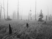 Fog in the swamp. A peatbog in the fog with tree stumps Royalty Free Stock Photography