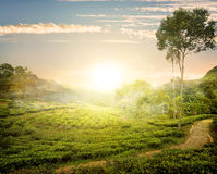 Fog and tea field Stock Images