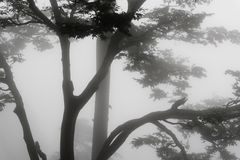 Fog and trees. Trees covered by a fog in Shimla, India Stock Photo