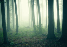 Fog through trees in a dark and mysterious forest. On a cold morning Stock Photography