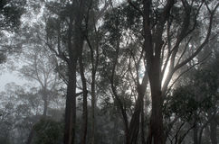 Fog through the trees. It was late morning in the Southern Highlands in New South Wales Australia. The winter cloud was struggling to lift, as the sun shone Royalty Free Stock Photo