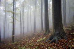 Fog trough trtees in the forest Stock Photography