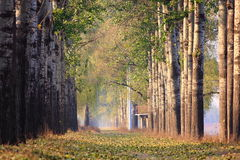 Fog vesture poplar trees Stock Photo