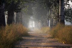 Fog vesture poplar trees  Stock Images
