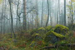Fog in wood. Fog in autumn wild wood on the Karelian isthmus Stock Images
