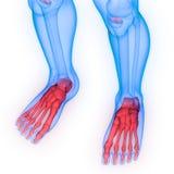 Fogar ihop benet för foten för det skelett- systemet för människokroppen anatomi arkivfoton