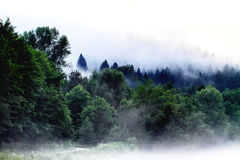 Fogged forest Stock Images