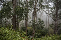 Fogged in at Mount Lofty Botanic Garden, South Australia. The majestic gum trees of Mount Lofty Botanic Garden, South Australia bathed in Fog. Situated in the royalty free stock image