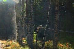 Foggest las zdjęcie stock
