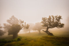 Foggi forest. The relict forest on Madeira island Royalty Free Stock Photography