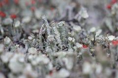 Foggia a coppa il muschio sulla brughiera del Drenthe Immagini Stock