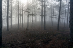 Fogging pine forest and the sun at Dalat- Vietnam Royalty Free Stock Photography