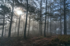 Fogging pine forest and the sun at Dalat- Vietnam Stock Image