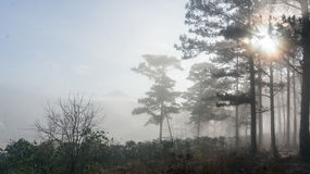 Fogging pine forest and the sun at Dalat- Vietnam Royalty Free Stock Photo