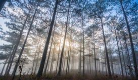 Fogging pine forest and the sun at Dalat- Vietnam. Sunrises somwhere near Dalat city - in Dalat- VietNam- LamDong- VietNam royalty free stock photography