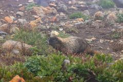 Foggy alpine enviornment with marmot and stones. Foggy alpine enviornment with marmot in august royalty free stock image