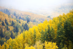 Foggy Aspens Royalty Free Stock Images