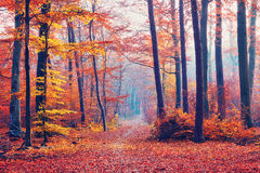 Foggy autumn forest Royalty Free Stock Photos