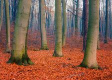 Foggy autumn forest. Colorful foliage in the autumn forest Stock Photos