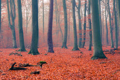 Foggy autumn forest Stock Photos