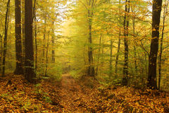 Foggy autumn Forest with colorful Trees Royalty Free Stock Photos