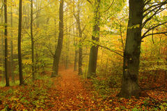 Foggy autumn Forest with colorful Trees Stock Images