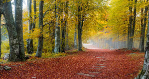 Foggy autumn forest Stock Images
