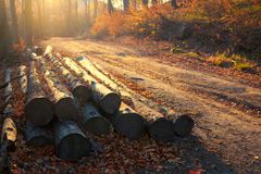 Foggy autumn forest path with wooden logs at sunset.  Royalty Free Stock Photo