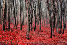 Red autumn forest with fog royalty free stock photos