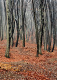 Foggy Autumn Forest stock image