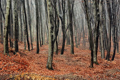 Foggy Autumn Forest Royalty Free Stock Image