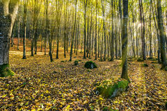 Foggy autumn forest in sun rays Stock Images